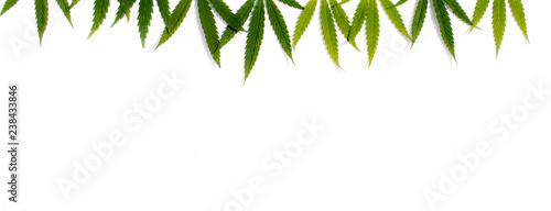 Green hemp, ganja leaf on white isolated background Canvas Print