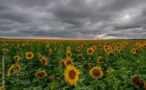 Poster Zonnebloem Sunflower field during the storm.