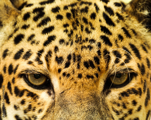 Poster Leopard Close Up of a Leopard / Cat Eyes