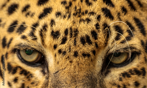 Plakat Leopard / Cat Eyes