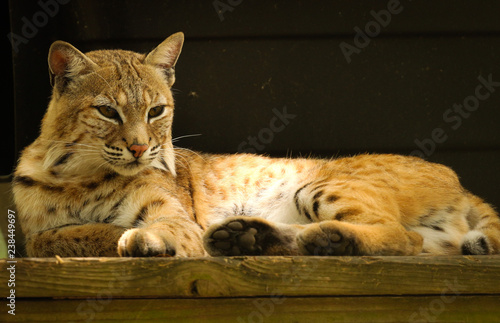 Photo  Portrait of a Bob Cat Laying Down with a Dark Background