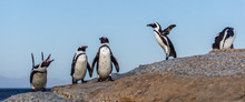 The African Penguins In Evenin...