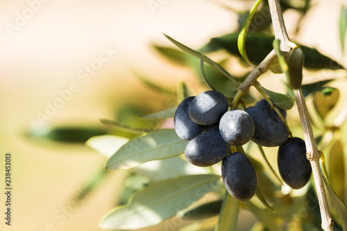 Poster Olijfboom Black italian olives on a branch, Avetrana, Apulia, Italy