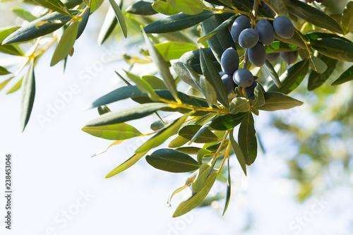 Foto op Aluminium Olijfboom Black italian olives on a branch, Avetrana, Apulia, Italy