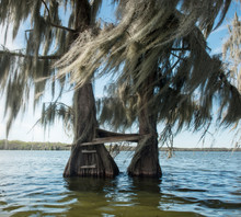 Cypress Trees In Lake Martin A...