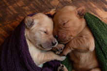 Close Up Of Puppies Sleeping In Blanket On Floor At Home