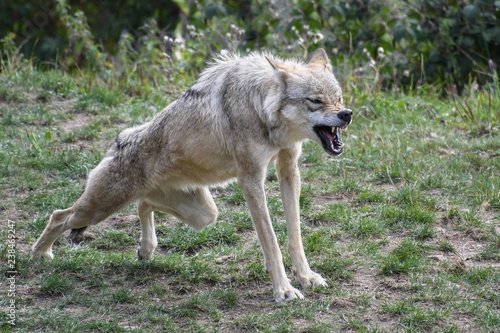 Canvas Prints Wolf wolf