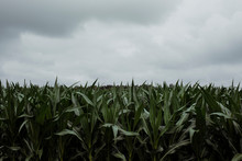 Corn Plants Growing On Field Against Cloudy Sky