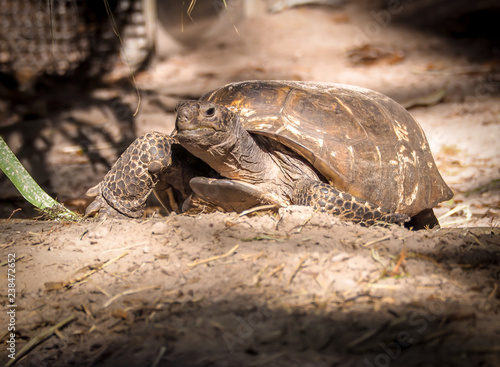Poster Tortue Turtle walking on hiking path