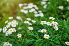 White Seaside Daisies In A Spr...