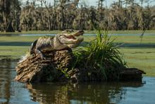 Alligator On Driftwood In Lake Martin