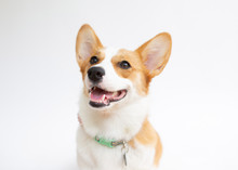 Close-up Of Corgi With Mouth Open Looking Away Against White Background