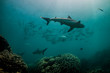 canvas print picture - Grey reef sharks swimming together with a school of fish in between