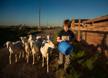 Boy With Blue Bucket And Sheep...