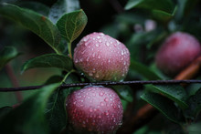 Close-up Of Wet Apples Growing...