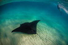 Beautiful Giant Manta Ray Swimming Just Beneath The Surface, With A Snorkeler Swimming Nearby