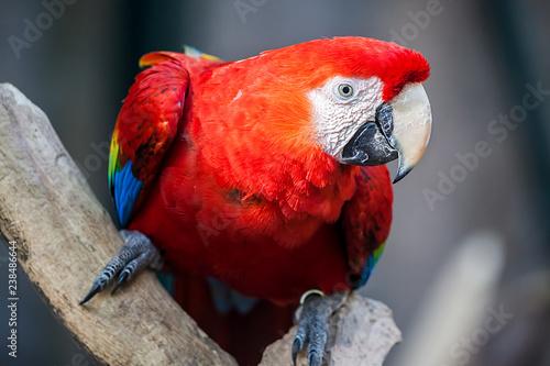 Papagei, Ara
