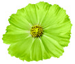 canvas print picture - Green flower daisy isolated on white background. For design. Closeup. Nature.