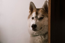 Close-up Portrait Of Dog Sitting By Wooden Plank Against White Wall