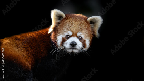Keuken foto achterwand Panda red panda close up