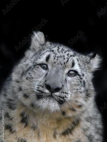 In de dag Panter snow leopard cub portrait