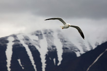 Seagull Flying Against Mountai...