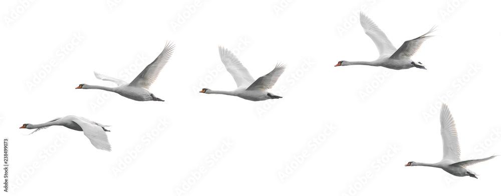 Fototapety, obrazy: Group of flying white swans