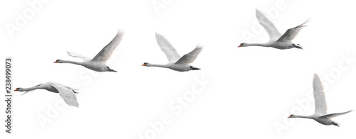 Spoed Foto op Canvas Vogel Group of flying white swans