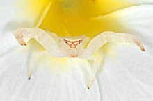 Macro Photo Of White Crab Spider Camouflage On Plumeria Flower