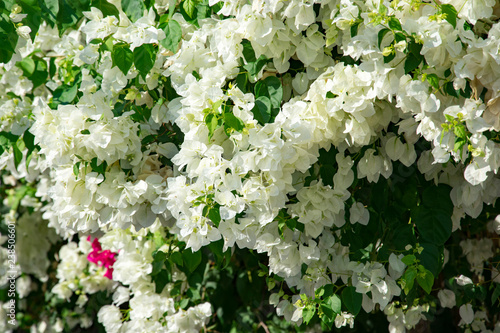 Canvastavla Bougainvillaea blooming bush with white and pink flowers, summer