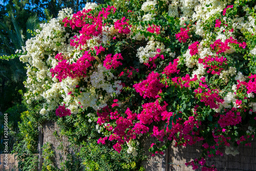Tablou Canvas Bougainvillaea blooming bush with white and pink flowers, summer
