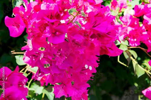 Foto Bougainvillaea blooming bush with white and pink flowers, summer