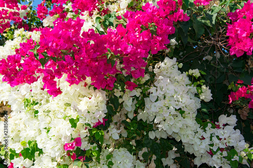 Bougainvillaea blooming bush with white and pink flowers, summer Fototapet