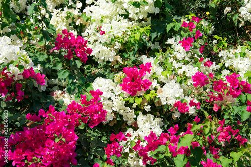 Canvas Bougainvillaea blooming bush with white and pink flowers, summer