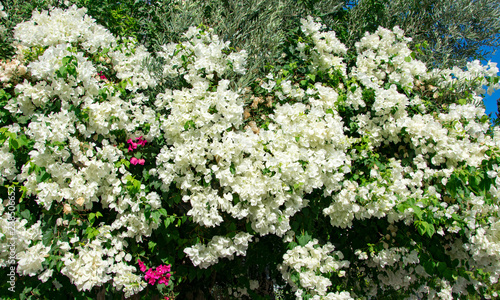 Bougainvillaea blooming bush with white and pink flowers, summer Fotobehang