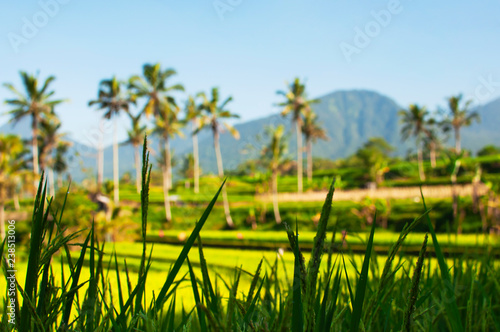Foto op Plexiglas Asia land Close up of green rice field and palm trees in the background. Texture of growing rice, green grass. Rice farm field paddy. Selective focus. Ubud Bali Indonesia. Natural beautiful tropical background