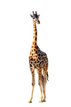 African Giraffe Isolated On White Background. Wild Animal.