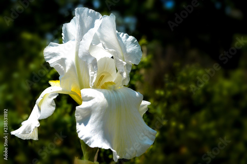 Poster Iris white royal large flower, iris in the garden