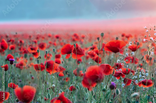 Field of poppies on a sunset - 238532258