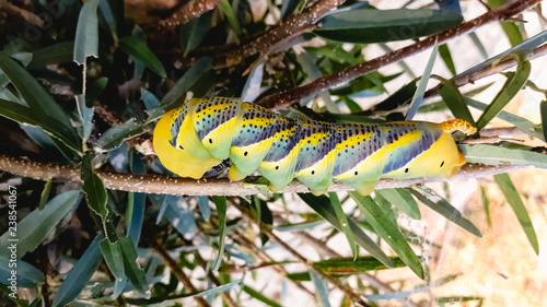 Photo Acherontia atropos, Death's head hawkmoth, on the branches of a tree in the Albufera of Valencia, spanish