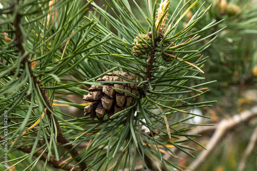 Fototapety, obrazy: pine branch with a cone close-up