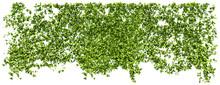 Blätterwand Efeu Freigestellt