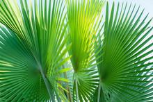Fiji Fan Palm, Pritchardia Pacifica, Nature Green Leaves