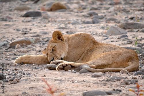 Photo  schlafende löwin lake manyanara tansania