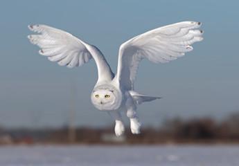 Male Snowy owl (Bubo scandiacus) flies low hunting over an open sunny snowy cornfield in Ottawa, Canada