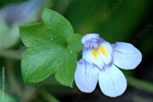 Fotografering  Ivy-leaved toadflax