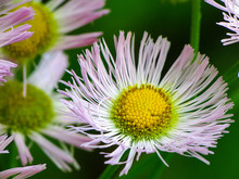 Pink And White Aster Wildflower With Yellow Center