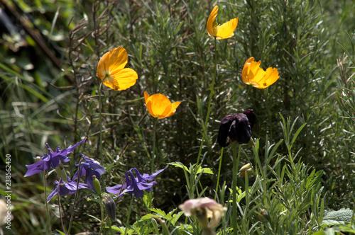 Fotografie, Obraz Aquilegia and Californian Poppies
