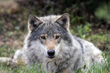 A Grey Wolf Laying On The Grou...