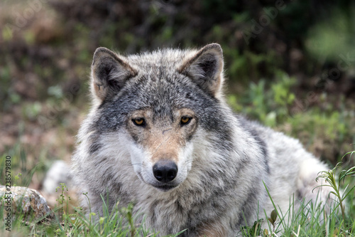 Tuinposter Wolf A grey wolf laying on the ground and relaxing in the forest. Animal and wildlife portraiture.